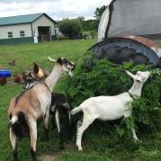 Myra, Silent Bob McGee and Jay Joplin enjoying following me around to help with the chores.